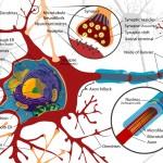 synaptic-plasticity-public