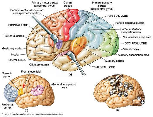 Left Anterior Insula Anterior Insula And Epilepsy