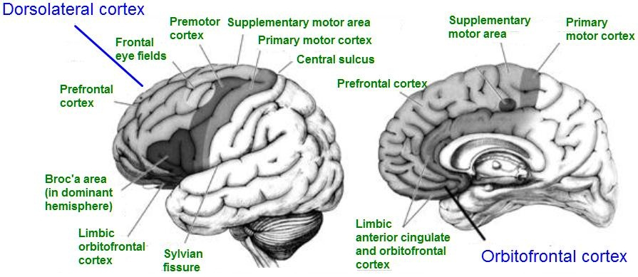 functional subdivisions of the orbito frontal cortex The prefrontal cortex is a region associated with planning complex cognitive  it  has two major anatomical and functional subdivisions: the orbitomedial and the.