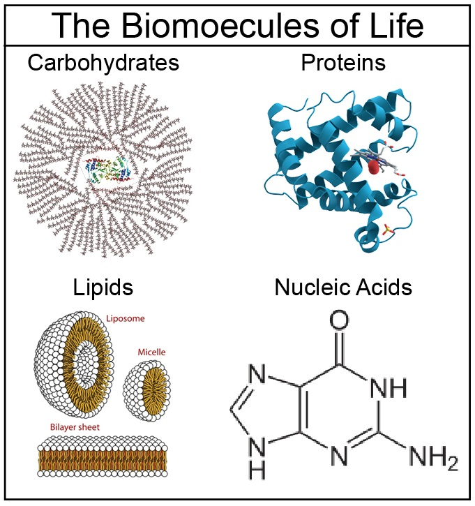 the four classes of macromolecules and their structure Discuss biological macromolecules and the differences between the four classes as we've learned, there are four major classes of biological macromolecules: proteins (polymers of amino acids) carbohydrates (polymers of sugars) lipids ( polymers of lipid monomers) nucleic acids (dna and rna polymers of.